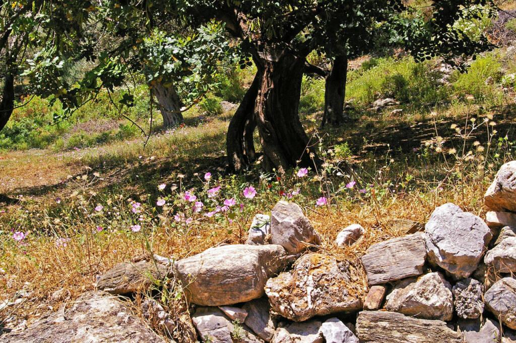 Ελαιώνας σε ελληνικό τοπίο